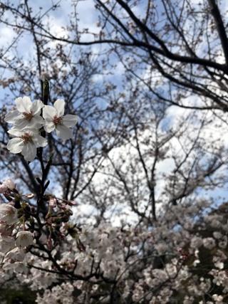 190406sakura.jpg